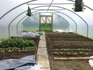 Grow my own veg in the polytunnel