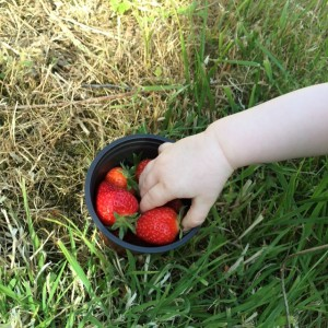 Strawberries from the Polytunnel